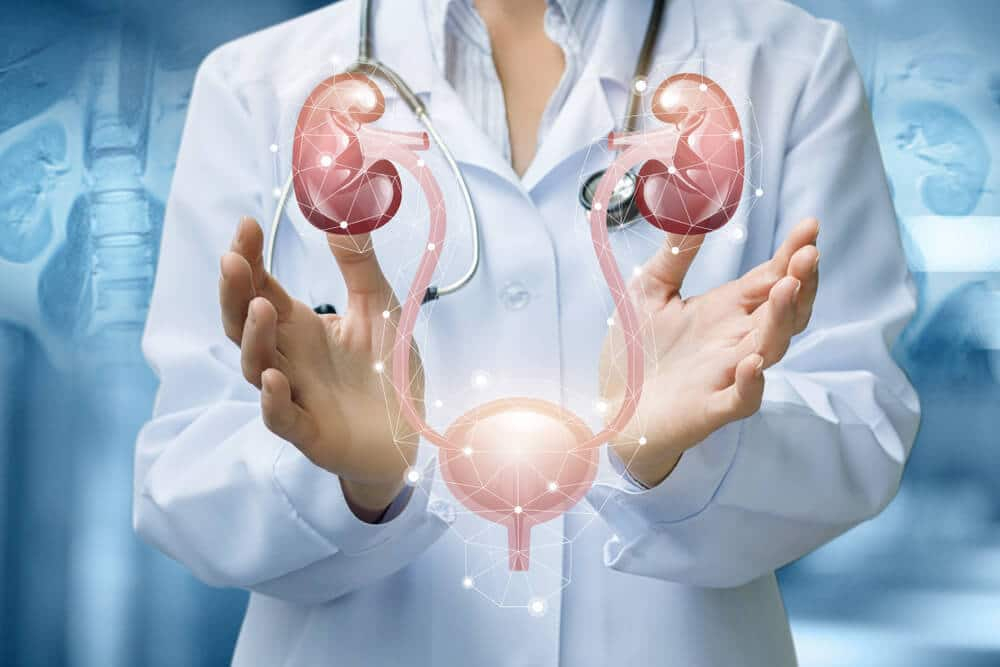 doctor shows the urinary system